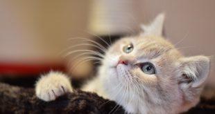 بالصور صور قطط صغيرة , كوليكشن قطط فائقه الجمال 5276 13 310x165