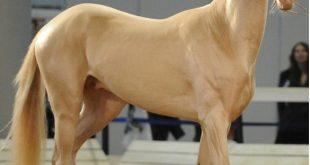 بالصور صور اجمل حصان في العالم , لقطات لاحلى حصان عالميا 12184 16 310x165