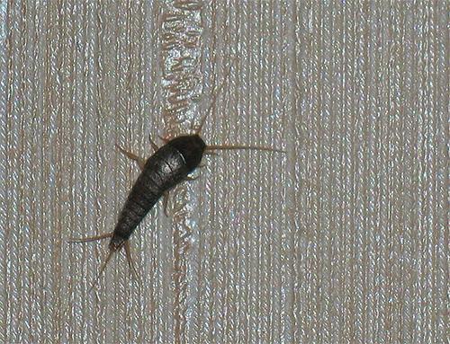 بالصور حشرات غريبة في المنزل , اغرب الحشرات الموجودة في البيت 12217 3