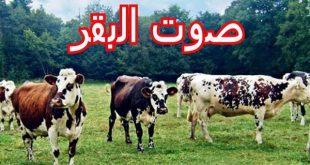 صور ما اسم صوت البقرة , حل لغز صوت البقرة