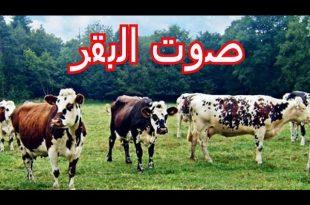 صورة ما اسم صوت البقرة , حل لغز صوت البقرة