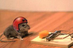 صورة طريقة صيد الفئران , كيفية اصطياد الفار في البيت