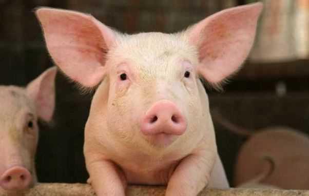 صورة تفسير الخنزير في المنام , رؤيتي لخنزير في الحلم ما تفسيره