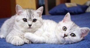 صورة اضرار القطط على الرجال , اثار القطط على الذكور