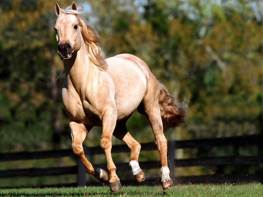 صور خيول عربية اصيلة , اجمل واروع الاحصنة العربية