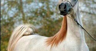 بالصور خيول عربية اصيلة , اجمل واروع الاحصنة العربية 1473 12 310x165