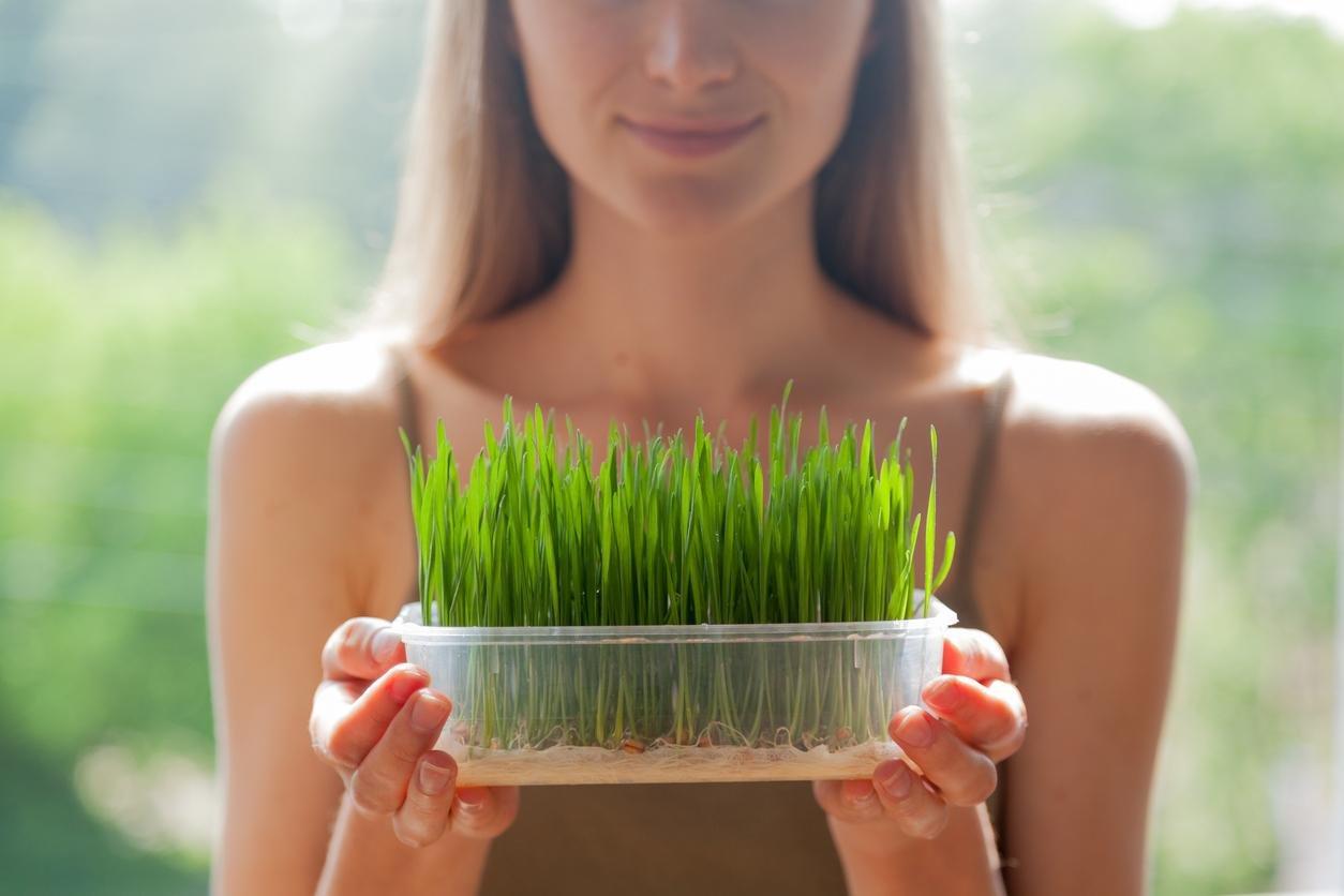 صورة عشبة القمح